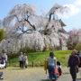 浄専寺の桜